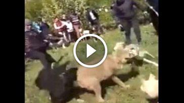Video Serigala
